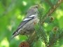 White-winged Crossbill - Female