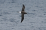 Grey-headed Albatross