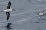 Grey-headed Albatross - Cape Petrel