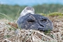 Southern Giant-Petrel On Nest