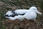 Wandering Albatross On Nest