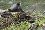 Red-gartered Coot With Young