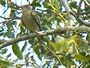 Greater Pewee and Social Flycatcher